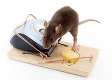 Clever Mouse. A mouse used his computer sibling to get to the cheese Royalty Free Stock Photography