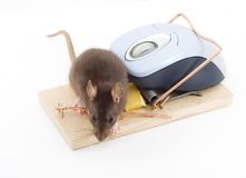 Clever Mouse Royalty Free Stock Photography