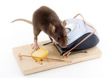 Clever Mouse. A mouse used his computer sibling to get to the cheese Stock Photos