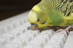 Clever parrot Royalty Free Stock Images