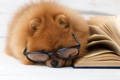 Clever pomeranian dog with a book. A dog sheltered in a blanket with a book. Serious dog with glasses. Dog in a library Royalty Free Stock Photos