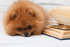 Clever pomeranian dog with a book. A dog sheltered in a blanket with a book. Serious dog with glasses. Dog in a library Royalty Free Stock Photo