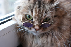 Clever puss in glasses Royalty Free Stock Image