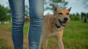 The clever smart trained dog with no leash walking next to woman`s legs.