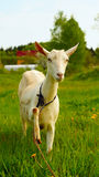Clever white goat with raised leg Stock Image