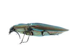 Click beetle. Insect isolated in white Stock Photo