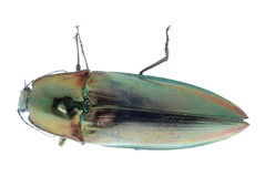 Click beetle. Shiny green click beetle insect isolated Royalty Free Stock Images