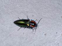 Click beetle,Campsosternus watanabei,Endemic to Taiwan. Endanger click beetle,Campsosternus watanabei,Endemic to Taiwan royalty free stock images