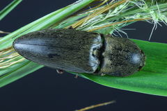 Click Beetle. It is capable of movement stock images
