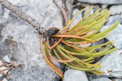 Click beetle crawling over pine needles and stones.  stock image