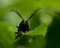 Free Click Beetle, Ctenicera Pectinicornis Royalty Free Stock Images - 46081859