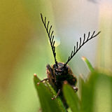 Click beetle, Ctenicera pectinicornis Stock Photography