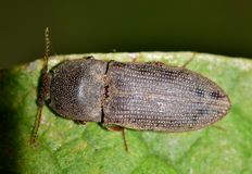Click beetle on a green leaf. stock image