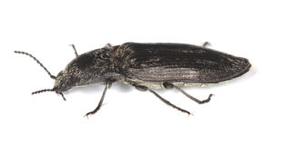 Click beetle isolated on white background. Extreme close-up Stock Images