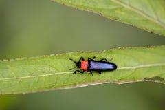 Click beetle. Large simulation click beetle Tetralanguria collaris stock photo