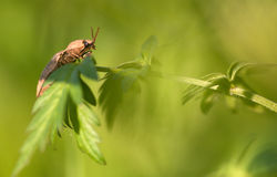 Click beetle. On a leaf stock photos
