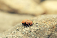 Click beetle. Pest of agriculture.  Royalty Free Stock Photography