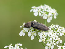 Click beetle. (Prosternon tessellatum) on a white flower royalty free stock photography