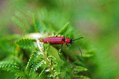 Click beetle. Sitting on a fern stock photos