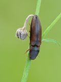 Click beetle Stock Photo