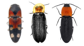 Click beetles trio Royalty Free Stock Image