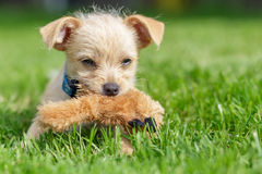 Click. A chihuahua mongrel in the grass royalty free stock images