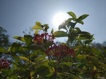 Click of sun behind a small plant. A beautiful click of sun hiding behind a small garden plant royalty free stock photos