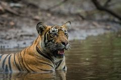 In a monsoon season and on a rainy day this male tiger cub relaxing in nature at ranthambore tiger reserve, India stock photo