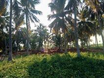 Coconut trees farm in morning sunrise royalty free stock photo