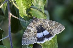 Free Clifden Nonpareil Moth - Catocala Fraxini Stock Photography - 120796862