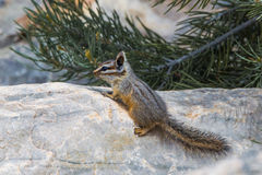 Cliff Chipmunk. Agile Cliff Chipmunk, aka Gray-Backed Chipmunk, Climbing On Large Boulder In Great Basin National Park, Nevada Royalty Free Stock Images