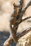Cliff Chipmunk on Branch Stock Photography