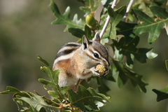 Cliff Chipmunk, Tamias dorsalis Stock Photography