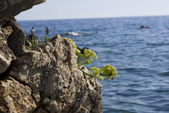 Cliff flower. Flower on a cliff on eastern shore of Pag island, Croatia Royalty Free Stock Photography