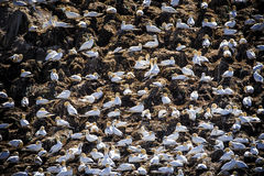 Cliff of gannets. A cliff painted with gannet nests royalty free stock image
