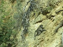 Cliff Hanger Baby Chimp stock photography