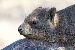 Cliff Hyrax Royalty Free Stock Photos