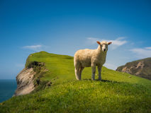 Cliff Sheep Stock Photography