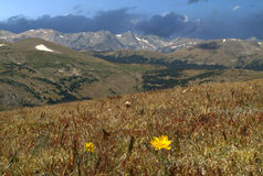 Cliff side. Lone daisy in high alpine meadow in Rocky Mountain National Park Stock Images