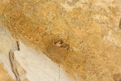 Cliff Swallow in a cliff nest Royalty Free Stock Photography