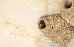 Cliff Swallow. In mud nest showing bill covered with wet mud, likely doing some building or repair work to nest, Rockport, south Texas, United States Royalty Free Stock Photos