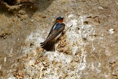 Cliff Swallow Nesting arkivfoton