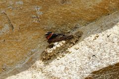 Cliff Swallow Nesting royaltyfri foto