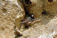 Cliff Swallow Nesting royaltyfri bild