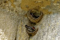 Cliff Swallow Nesting arkivbilder
