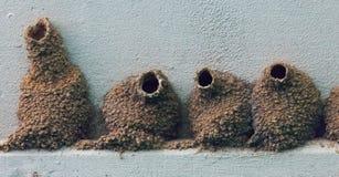 Cliff Swallow Nests Imagen de archivo