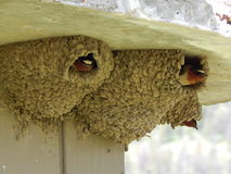 Cliff Swallow Nests Stock Photo