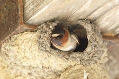 Cliff Swallow Peering Out From il suo nido del fango Fotografia Stock