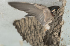 Cliff Swallow Royalty Free Stock Image
