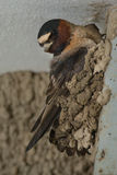 Cliff Swallow Stock Image